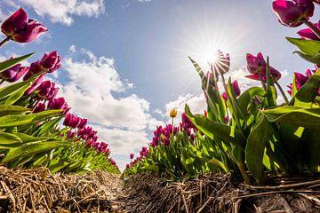 Tulpenfelder im niederländischen Polder von Bram Oostdijk