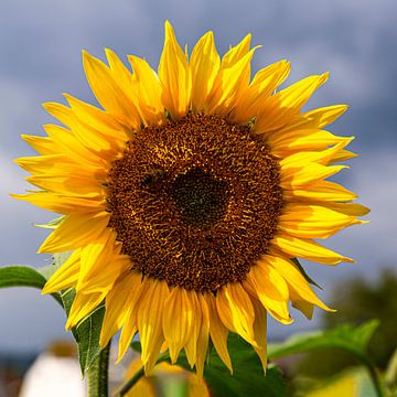Sonnenblume von Adelheid Smitt