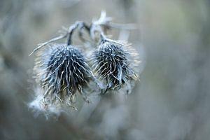 Twee gedroogde grijze distels tegen een vage achtergrond, natuur wabi sabi concept, symbool voor saa van Maren Winter