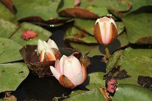 Waterlelies van Hans van Otterloo