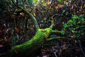 Oude gevallen boom von Tejo Coen