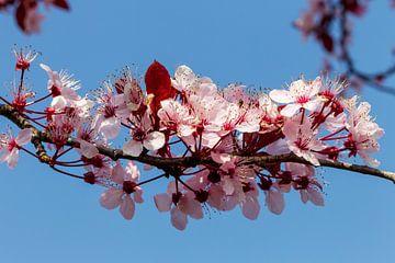 Bloeiende roze bloesem tegen de blauwe lucht, het lentegevoel. van Jani Moerlands