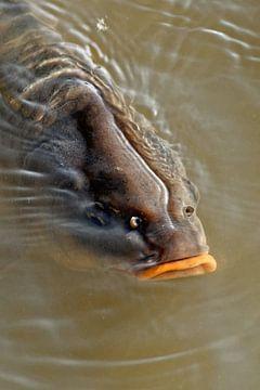 carp sur rene schuiling