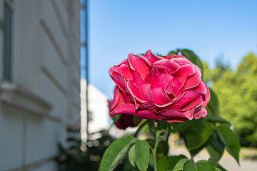 rosa Hochstammrosen in der Alleestraße in Putbus auf Rügen von GH Foto & Artdesign