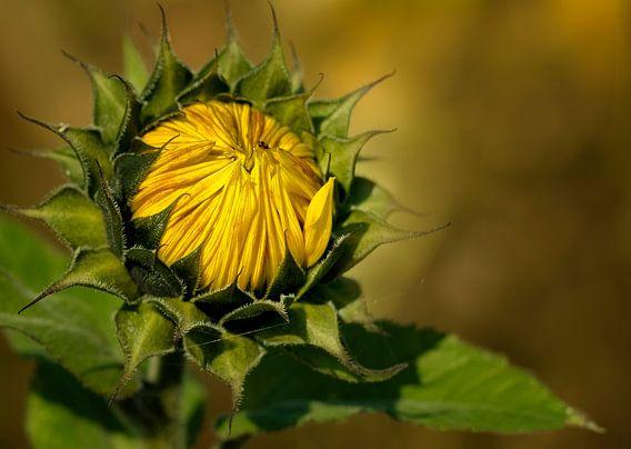 Zonnebloem in de herfst