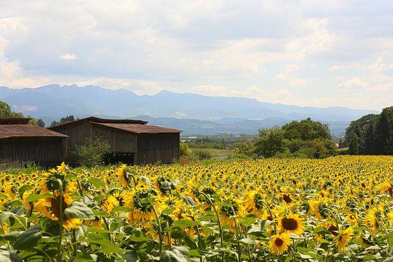 De zonnebloemvelden / Frankrijk