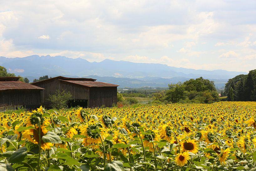 De zonnebloemvelden / Frankrijk van Shot it fotografie