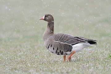 Blässgans ( Anser albifrons ), Wildgans im Winter bei leichtem Schneefall am Niederrhein, wildlife,  von wunderbare Erde