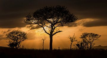 Prachtige Afrikaanse zonsopkomst achter acacia van Bas Ronteltap