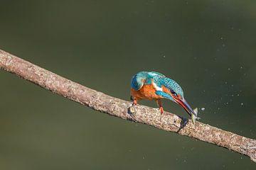 IJsvogel vangt vis van