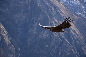 Kondorvogel in den Anden. von Zarina Buckert