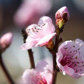 Perzik bloesem in onze tuin. van Rijk van de Kaa