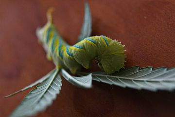 The caterpillar van Fabii Roelstraete
