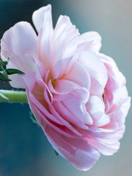 Ranonkel roze bloem.