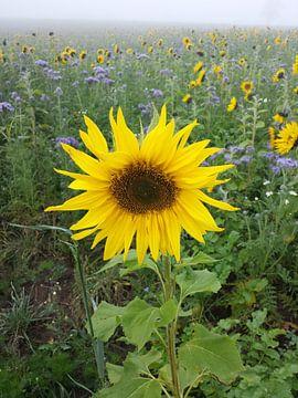 Sonnenblumenfeld von Andrea Meister
