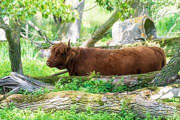Der schottische Highlander auf der Suche nach zarten Blättern. von Merijn Loch