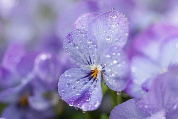 Teer viooltje met druppels. van Rens Kromhout