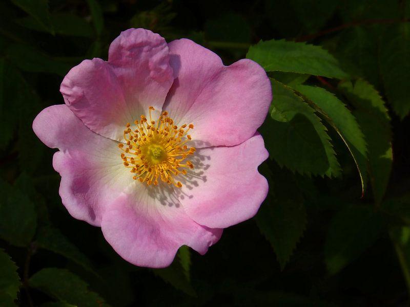 Beauty of a Rose... (Wilde roze Roos) van Caroline Lichthart
