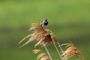 Blauwborst van Martin Smit