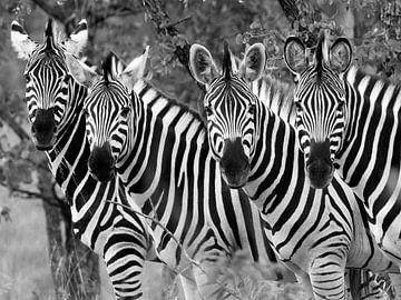 "Zebras: ""Hallo, hallo! von Bouke Lolkema"