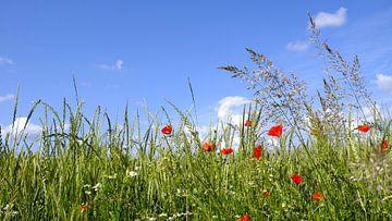 Gräser und Mohn van Ostsee Bilder