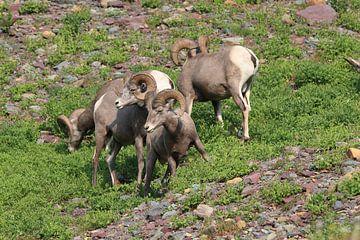 Bighorn Sheep Glacier National Park Montana USA van Frank Fichtmüller