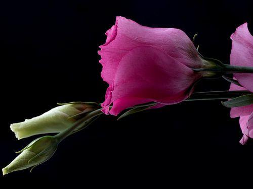 Roze en witte prairie gentianen op zwart