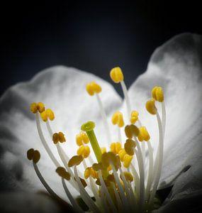 Kirschblüte vor schwarzem Hintergrund von Gonnie van Hove