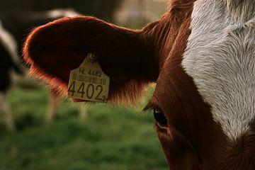 Koe No. 4402 van