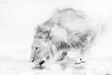 Trinkender Löwe von Jos van Bommel