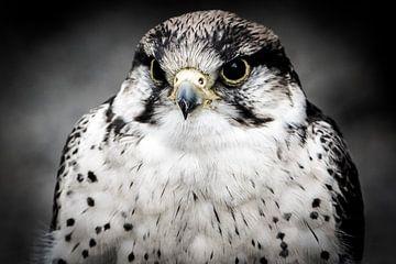 Portrait eines Raptor oder Raubvögel von Pureframed Photos