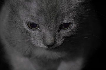 Chartreux, ogen. van