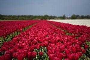Les tulipes rouges dans la région des bulbes sur Maartje Abrahams