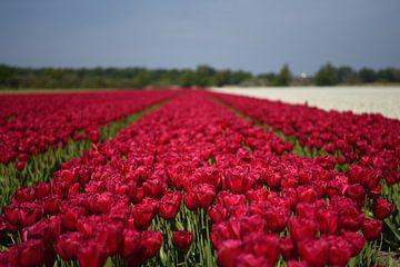 Rode tulpen in de bollenstreek van Maartje Abrahams