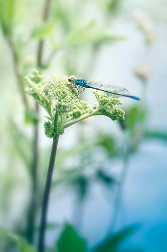Waterjuffer blauw van