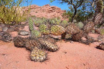 Cactus in Argentijnse woestijn van My Footprints