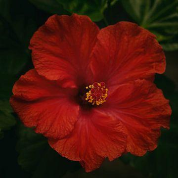 Hibiscus sur Saskia Schotanus