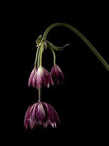 Bouton violet de Zeeland sur fond noir sur Carine Belzon