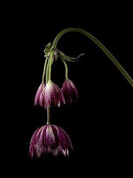 Violetter Zeeland-Knopf auf schwarz von Carine Belzon