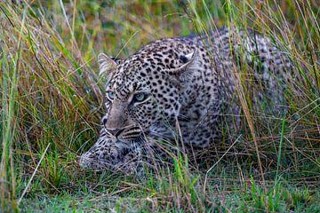 Luipaard op jacht van Peter Michel
