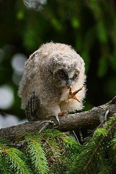Eule, Waldohreule ( Asio otus ), Jungvogel, Ästling in einem Nadelbaum, bewundert die eigenen Füße,  von wunderbare Erde