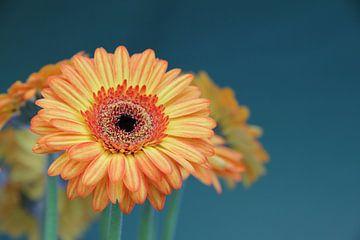 Gerbera Bloem Oranje - Asteraceae van Christel Bekkers