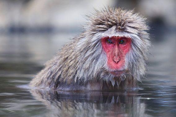 Snow Monkey sur Guy Florack
