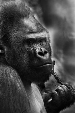 Kalme en droevige mannelijke gorilla die een takje vasthoudt, zwart-witfoto in staalkleuren van Michael Semenov
