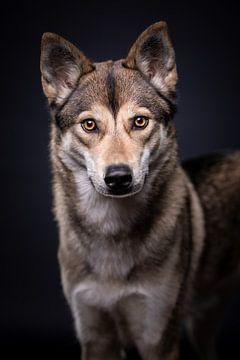 Portret Wolfshond met donkere achtergrond van Lotte van Alderen