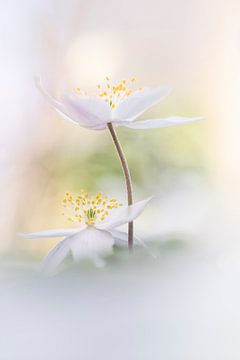 Wunderschöne Anemonen von Bob Daalder