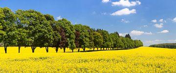 Bomenlaan en verkrachtingsveld in het voorjaar van Markus Lange