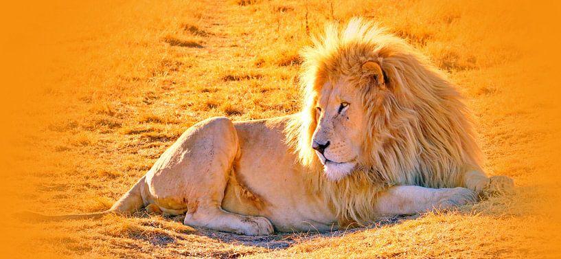 Löwen Männchen 900 thula-art panorama von Barbara Fraatz