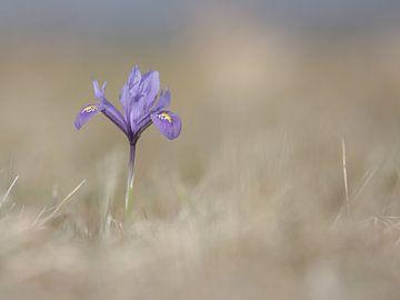 Wilde Iris... van Jacqueline Heemskerk