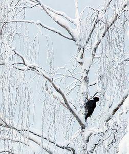 Mannetje Zwarte Specht (Dryocopus martius) foeragerend in een schitterend met sneeuw bedekt bos